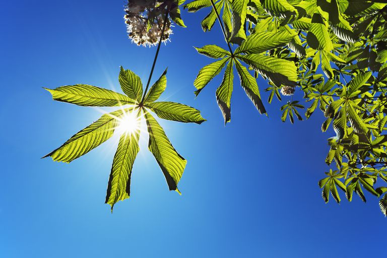 Horse chestnut tree and sun