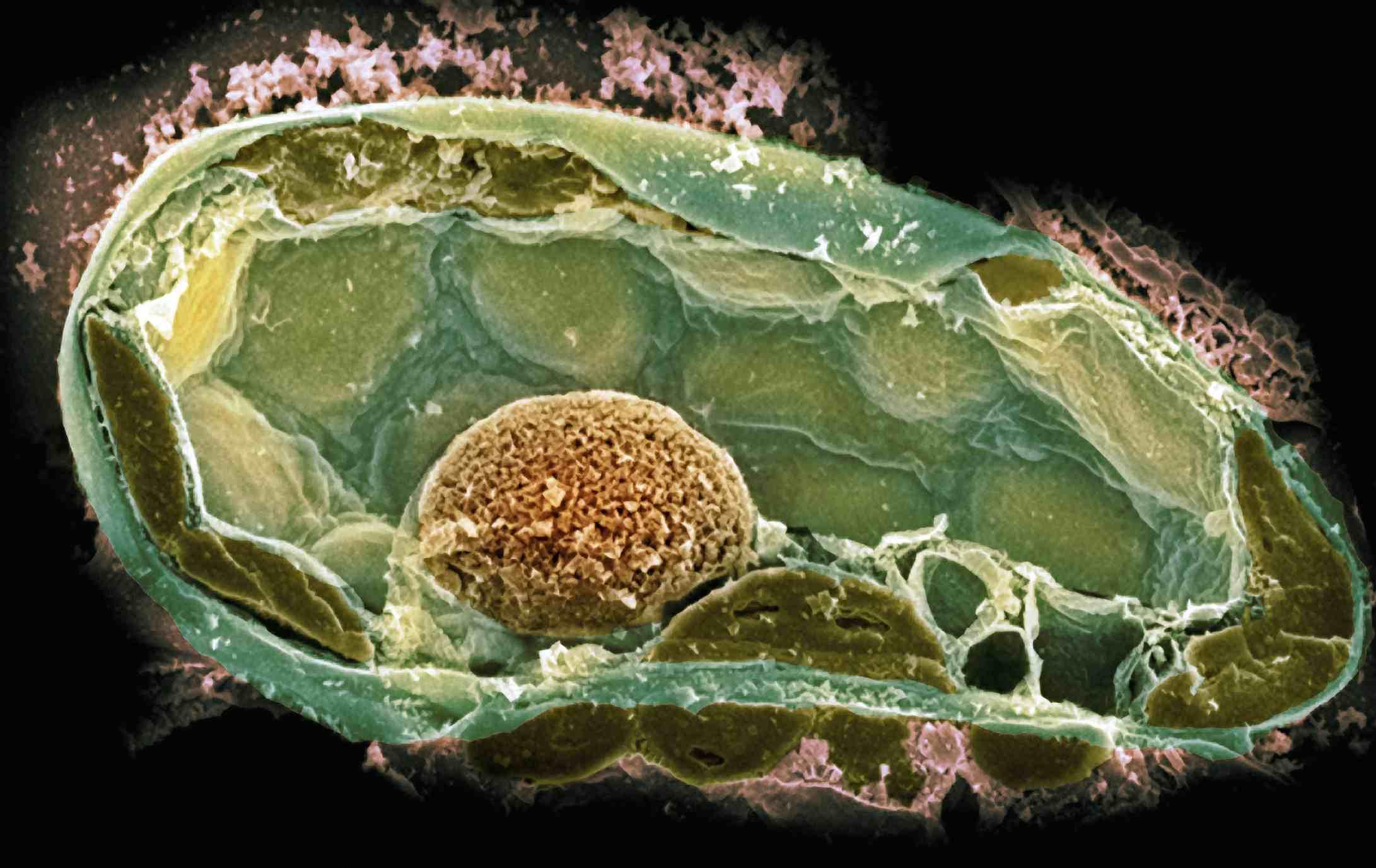 Plant Cell SEM