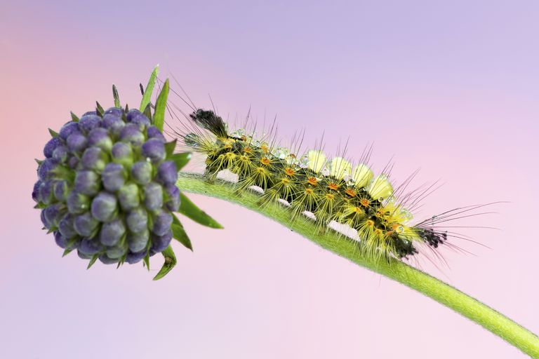 The rusty tussock moth caterpillar