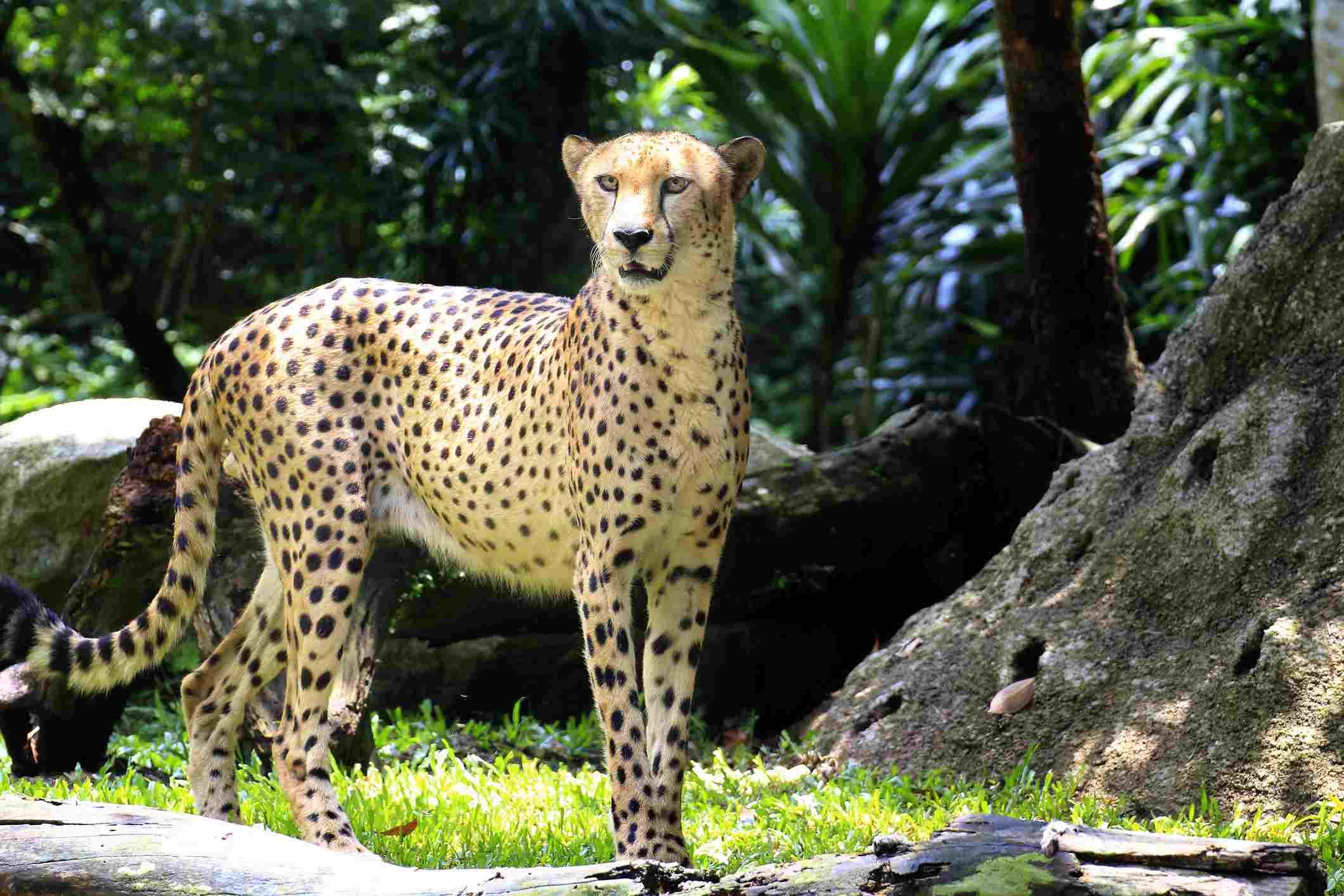 A cheetah has an aerodynamic, lean physique.
