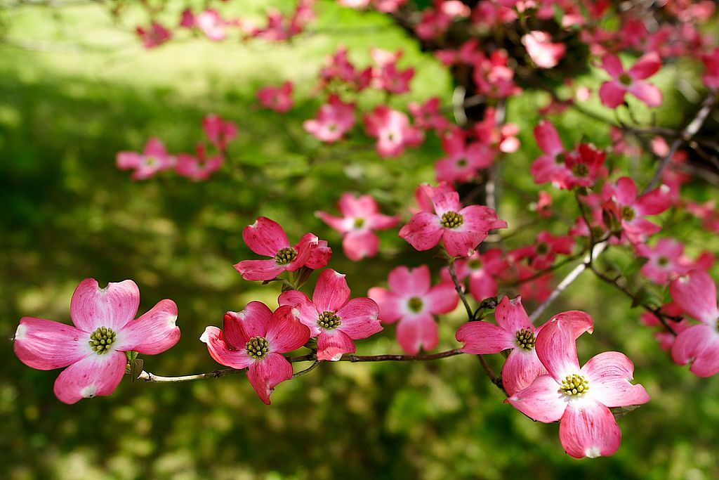 Photo Gallery Flowering Dogwood Blooms