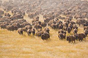 Herd of bison