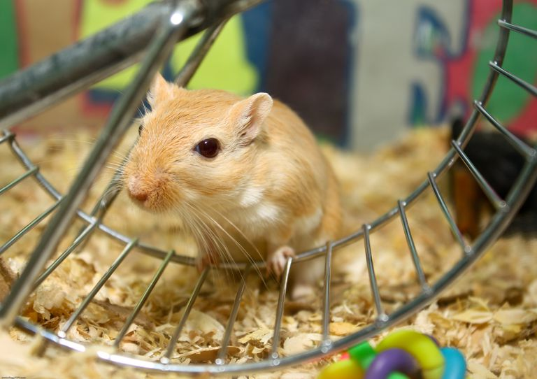 Gerbil on exercise wheel.
