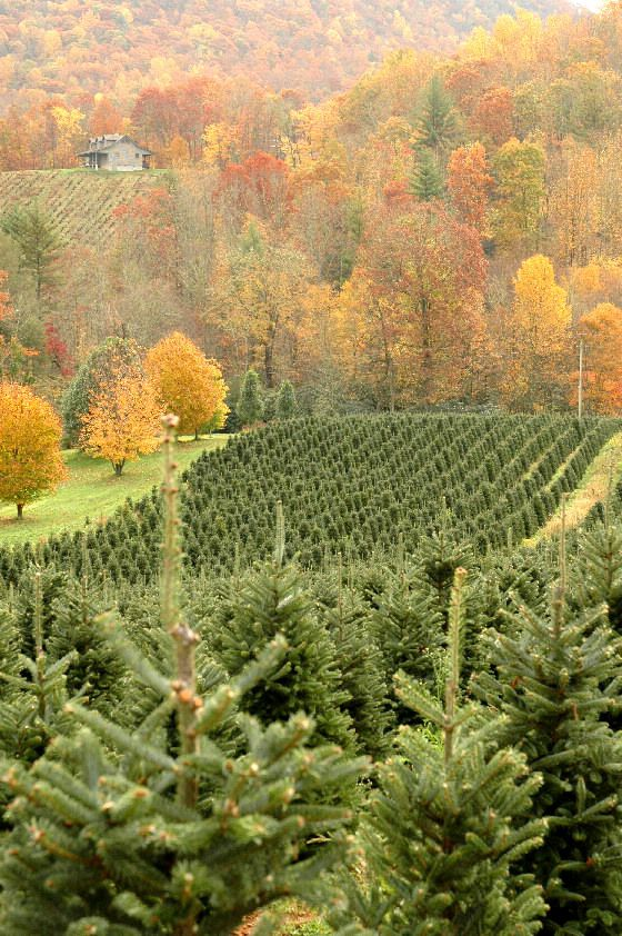 Frazier Fir Christmas Tree Farm in Autumn