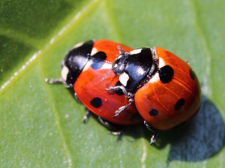 Lady beetles mating on a leaf.