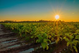 Tobacco Plants at Sunset