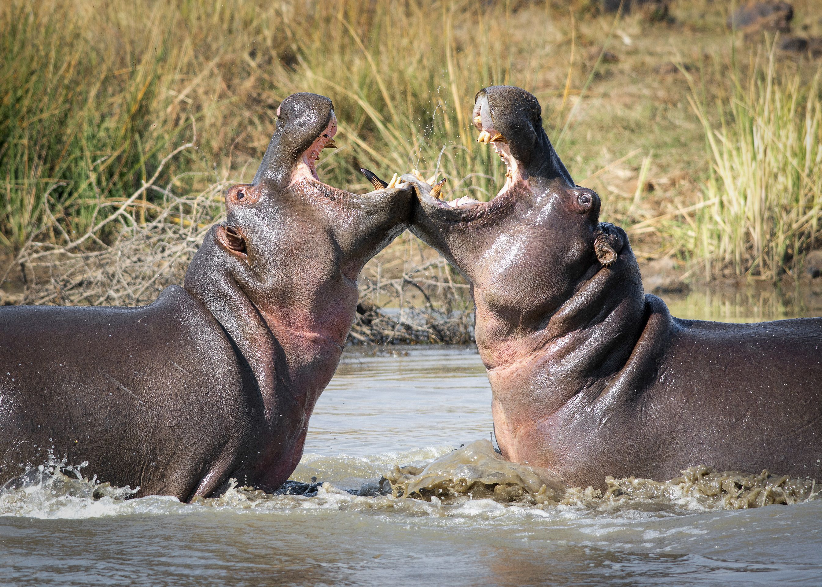 Hippopotamus fight in a body of water surrounded by tall grass.