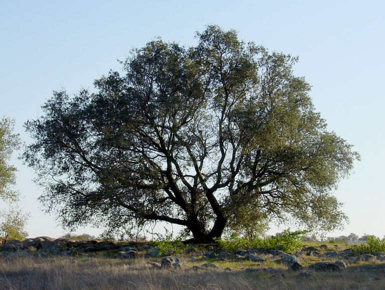 Engelmann oak tree