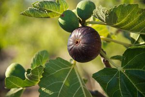 Close up of a fig tree with fruit on a sunny day.