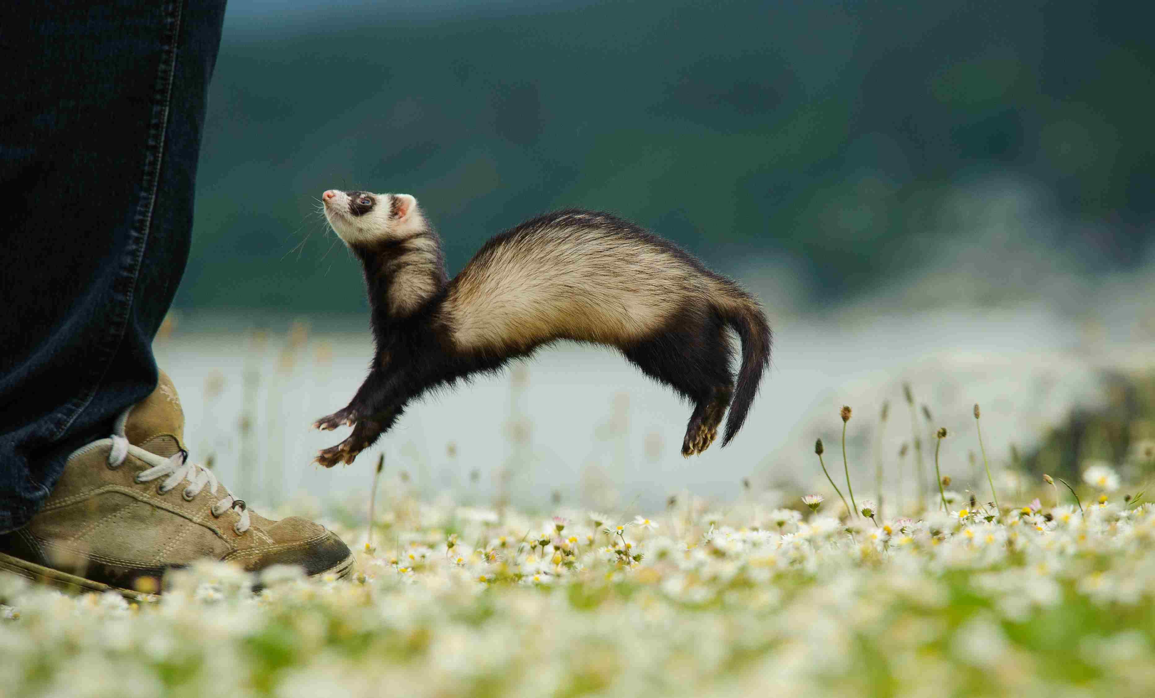 The weasel war dance or