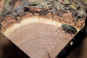 Locust borer on firewood