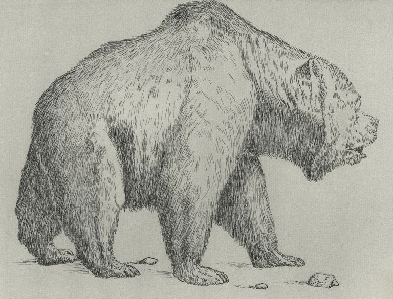 Cave bear (Ursus spelaeus), extinct bear from Pleistocene Epoch, drawing
