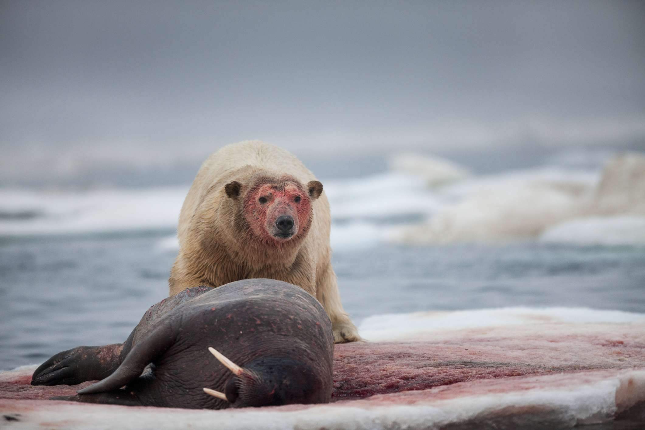 A polar bear looks up from its kill as walrus blood soaks the ice