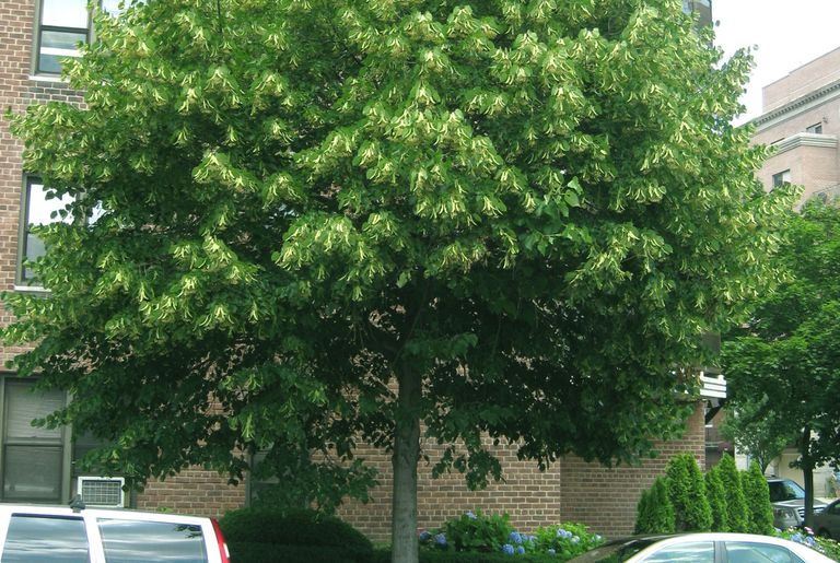American basswood tree growing in front of a brick building on a sunny day.