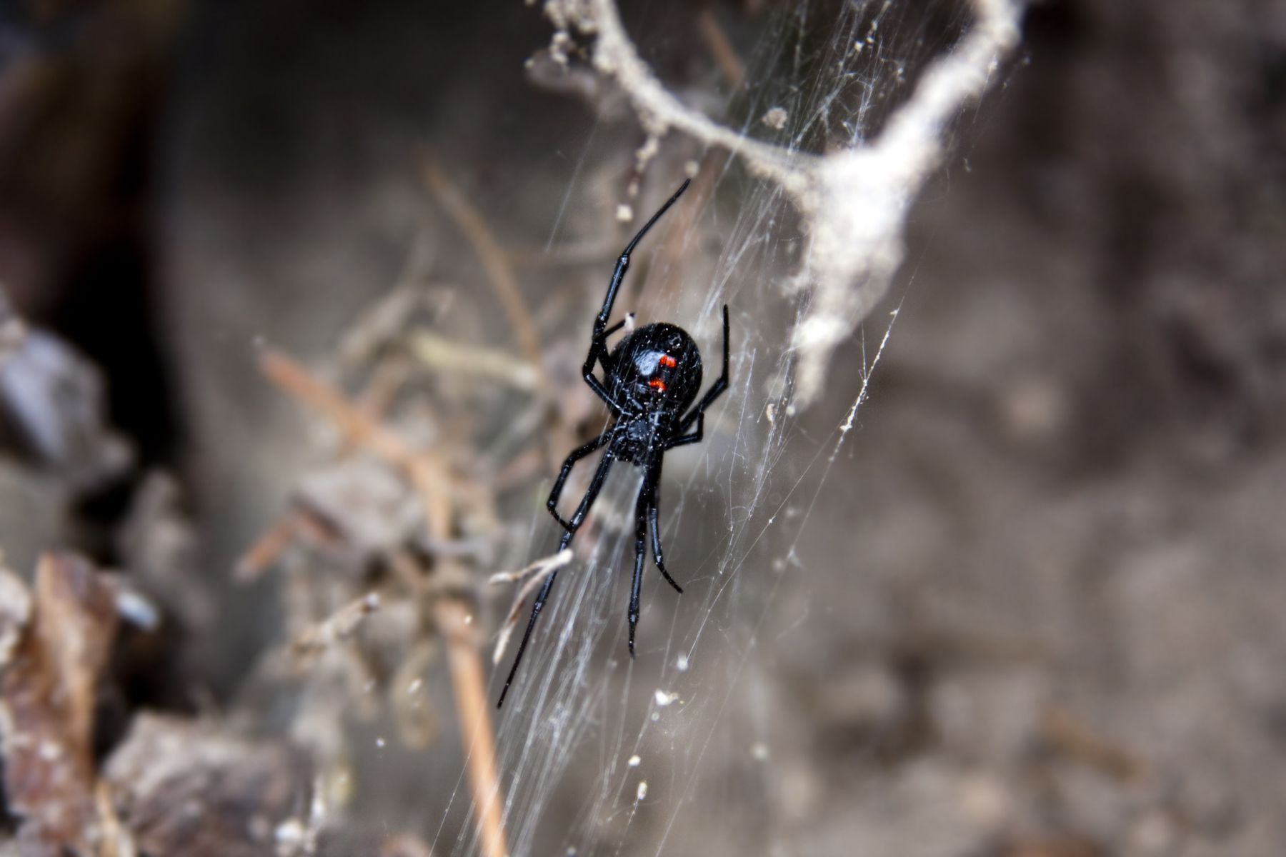 The black widow's natural habitat is a shaded, wooded area.