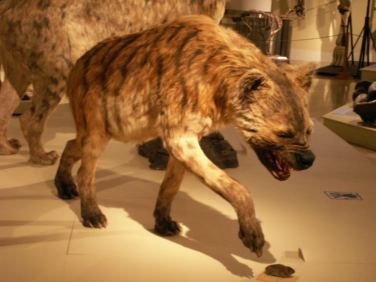 Taxidermy display of giant hyena in museum.