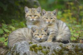 Wildcat Felis silvestris