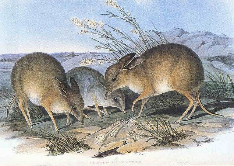 pig-footed bandicoot