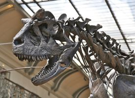 Close up of dinosaur skeleton on display at a museum.