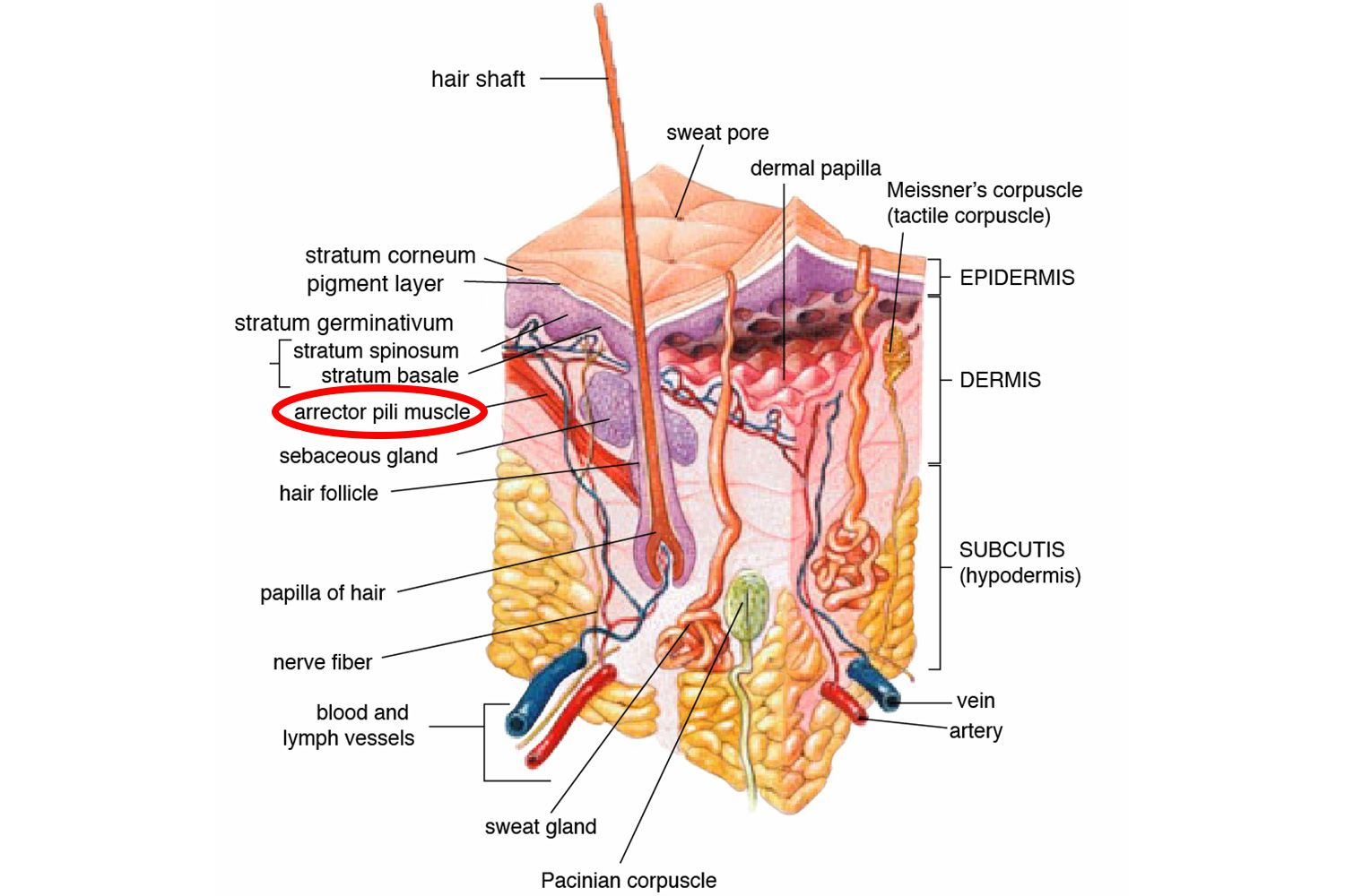 The 4 Vestigial Structures Found In Humans Human Body Muscle Anatomy Diagram Humananatomychartinfo With No Fur To Pull Arrector Pili Is Us Gov Wikimedia Commons Public Domain When