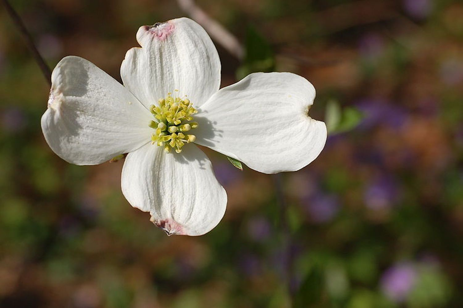 Flowering Dogwood Care And Identification