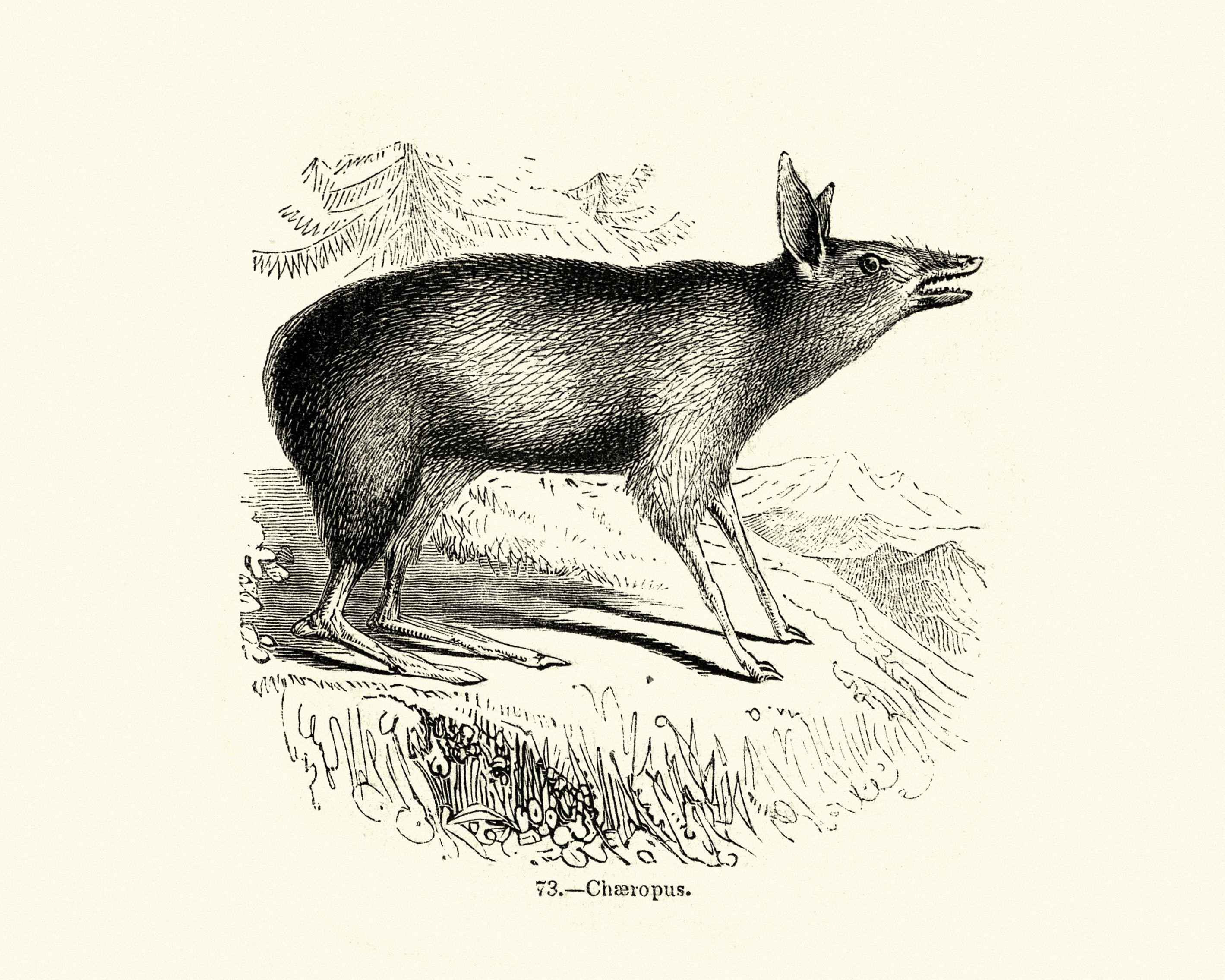 Natural history, marsupial, pig-footed bandicoots, Chaeropus
