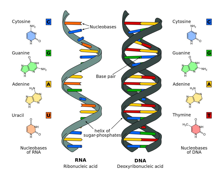 DNA and RNA Comparison