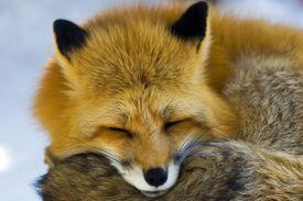 Sleeping animal