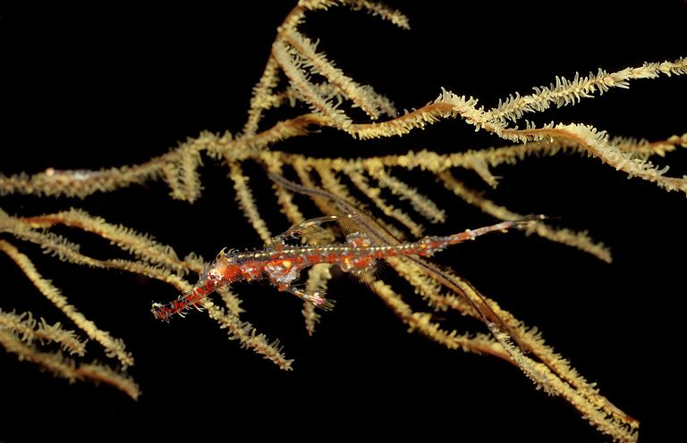 Harlequin ghost pipefish / WaterFrame / imageBROKER / Getty Images