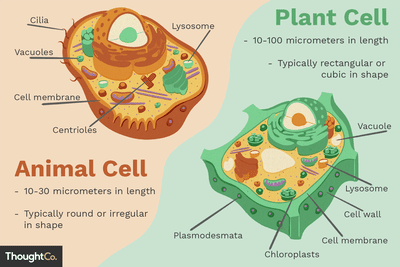 Cell wall structure and function discover the key differences between animal and plant cells ccuart Image collections