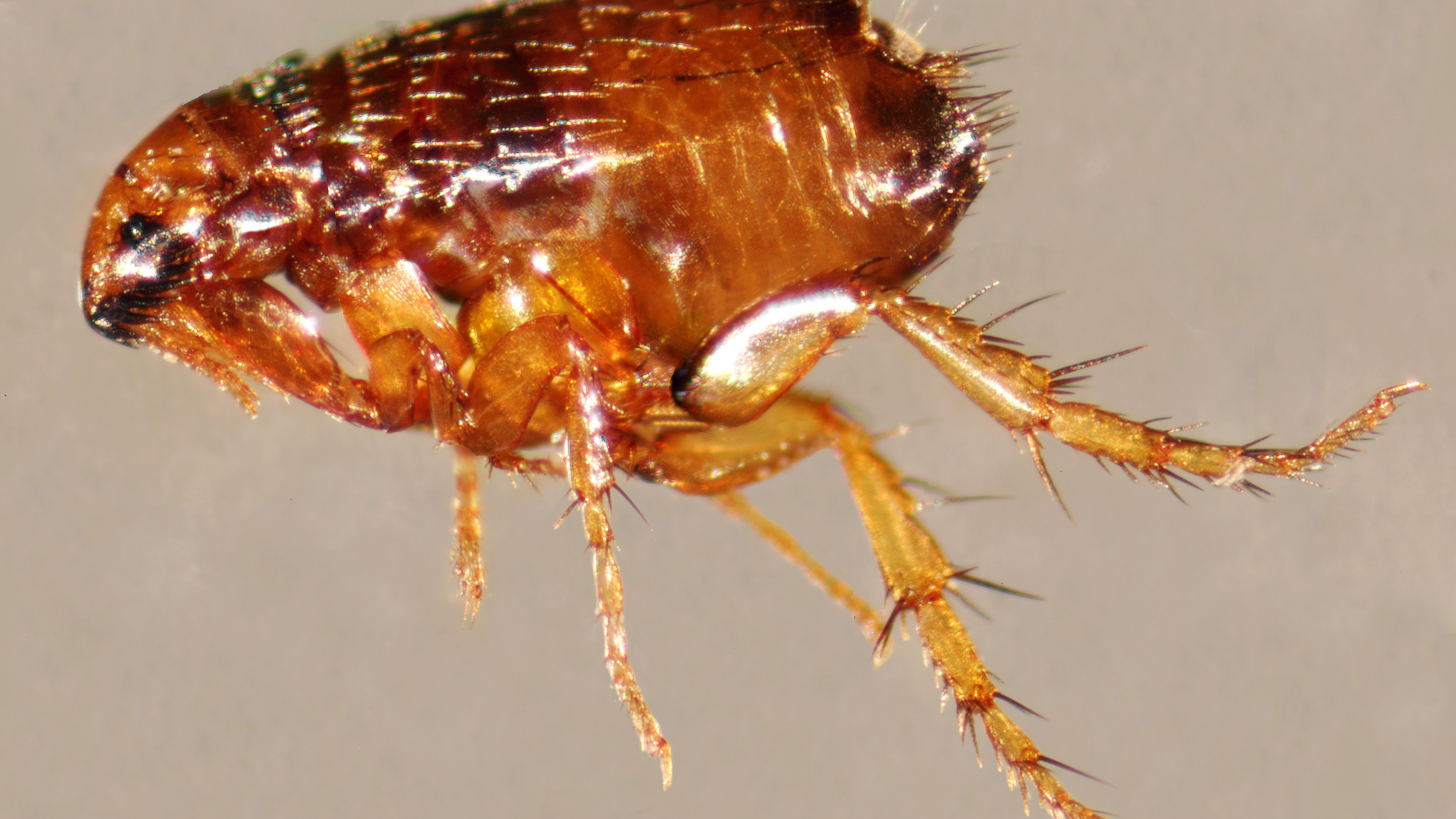 10 Fascinating Facts About Fleas