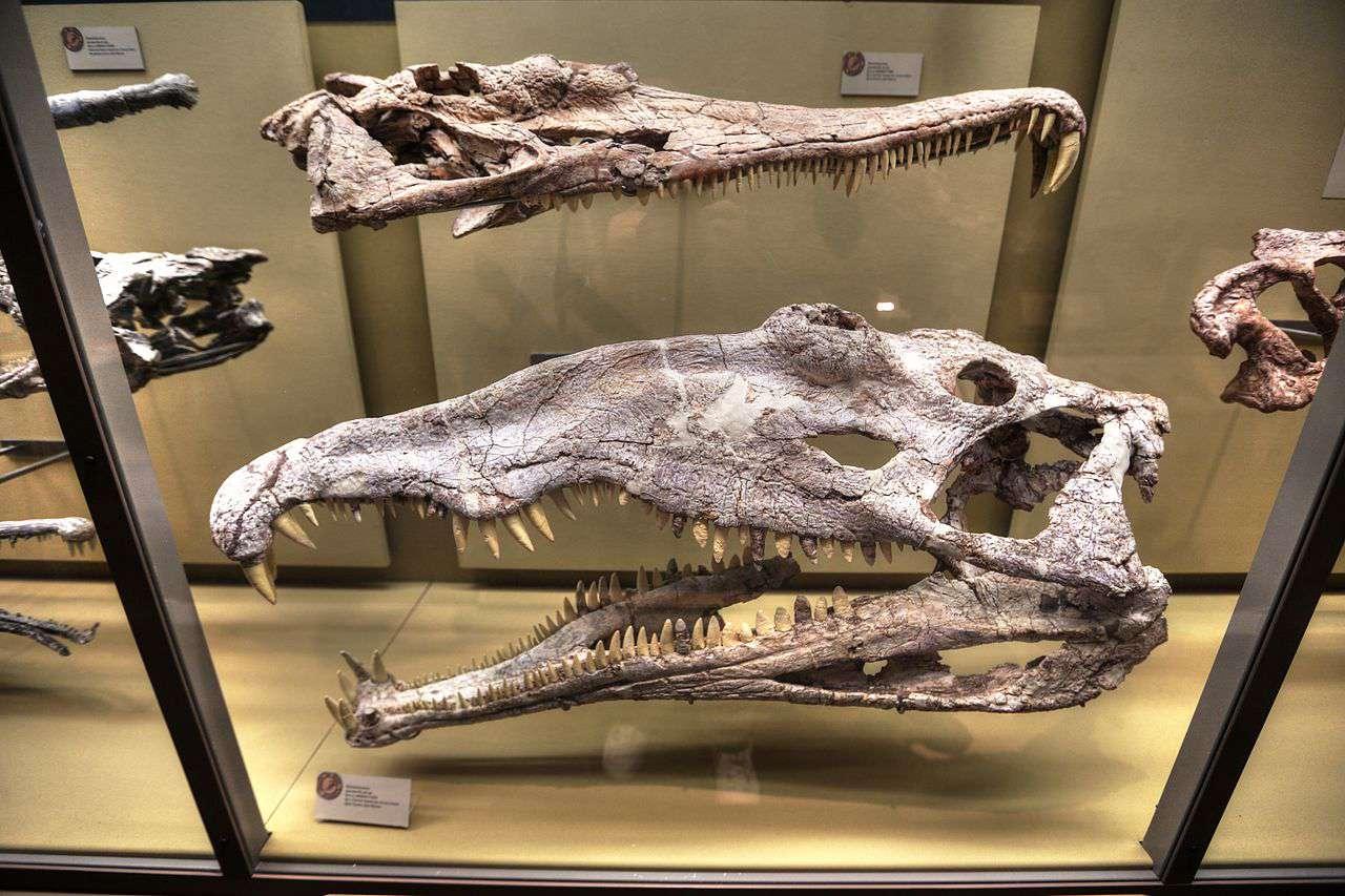 Phytosaur skulls