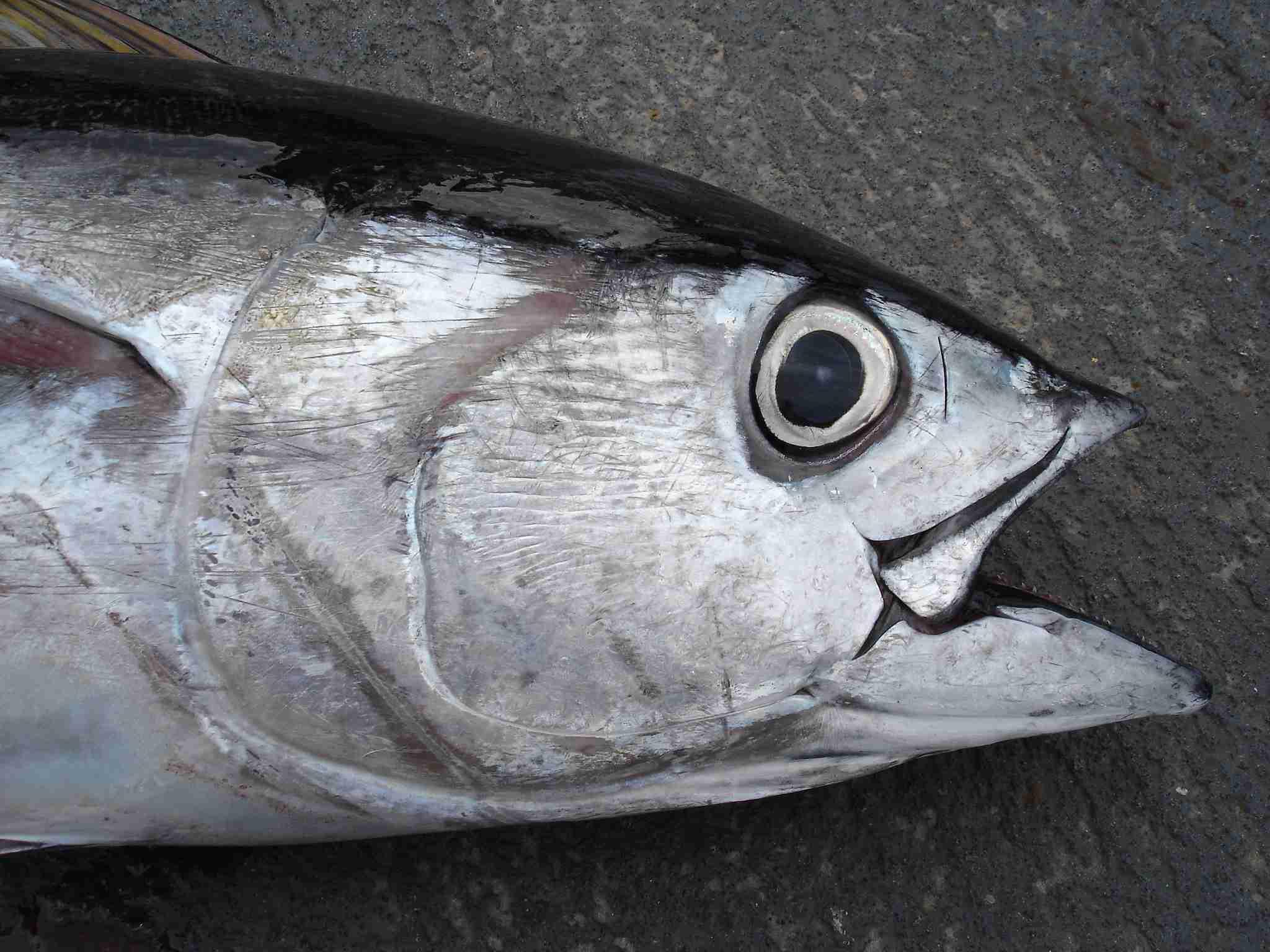 Bigeye tuna close up