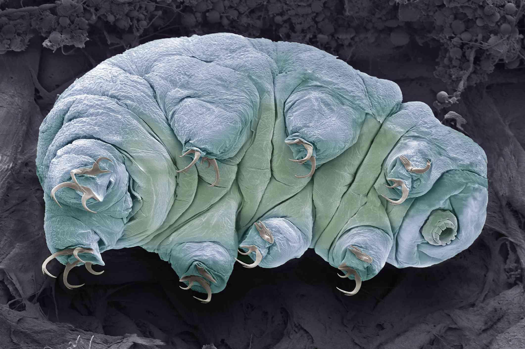 SEM of a tardigrade