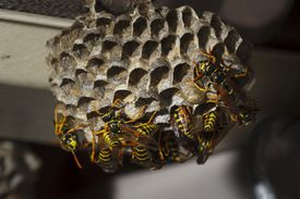 Close up of paper wasps on their nest.