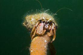 Hermit Crab (Pagurus bernhardus) Climbing on Stipe, Scotland