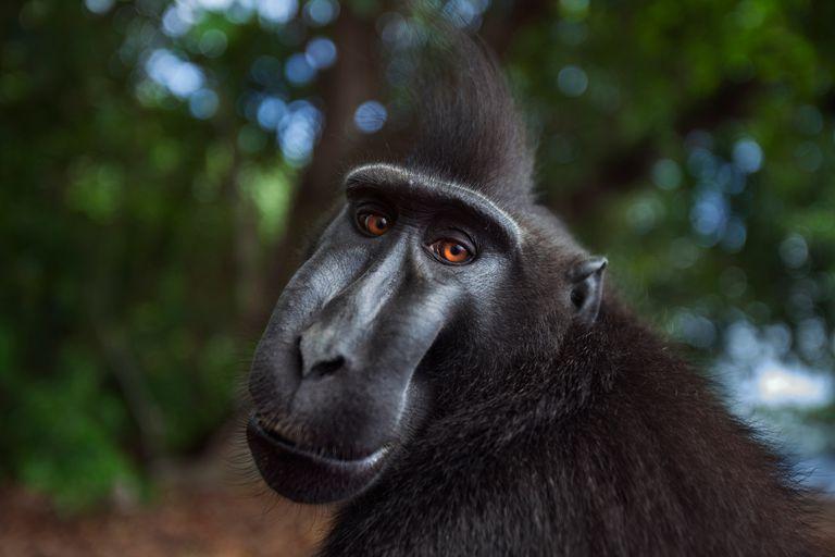 Black-crested macaque - Macaca nigra