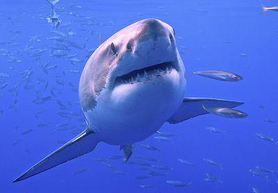 Do Sharks Ever Sleep, and How?