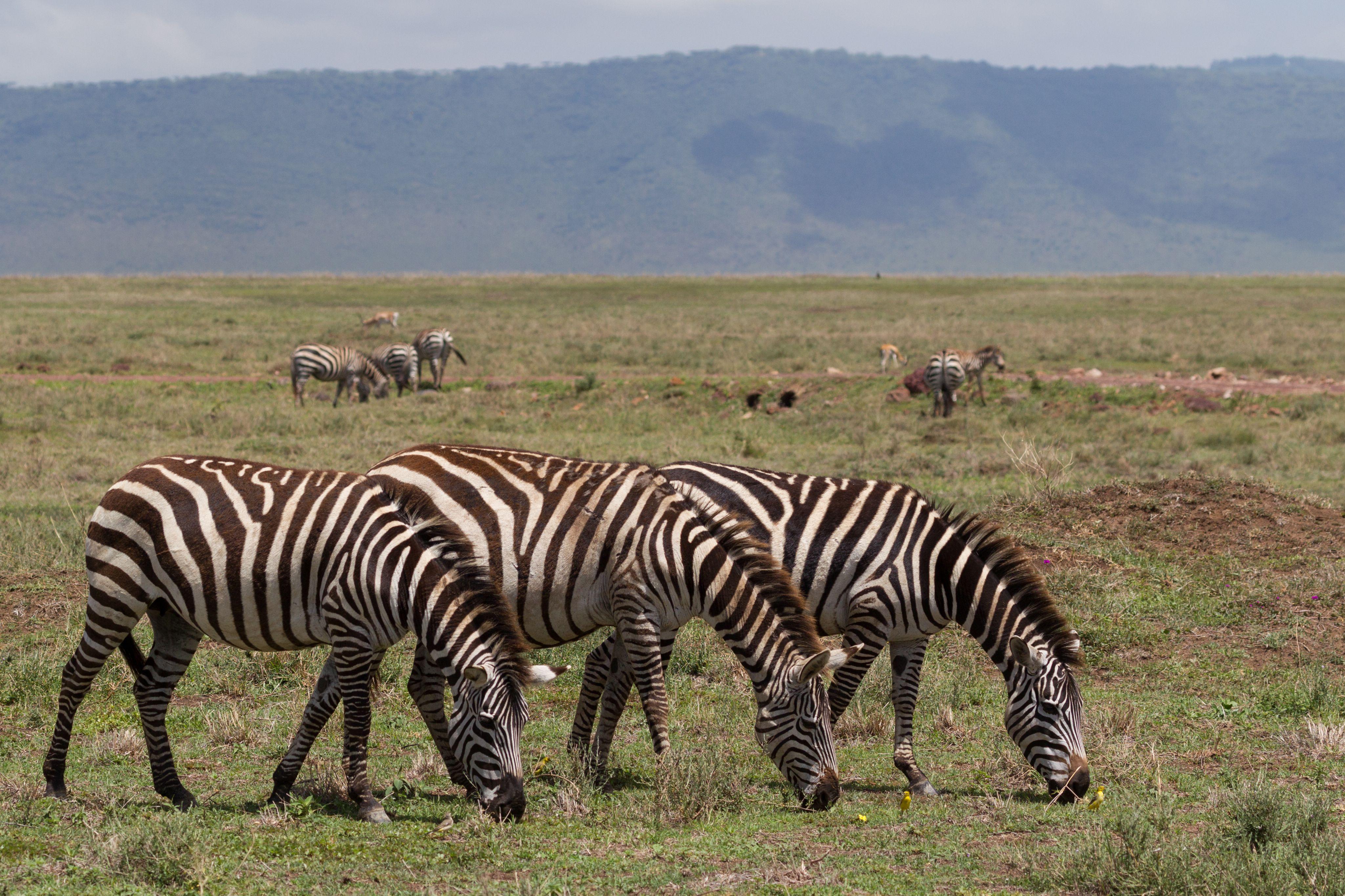 Drei Zebras (Equus quagga), Tansania, Ostafrika