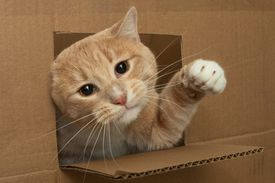 A one year old tomcat is playing in a cardboard box.