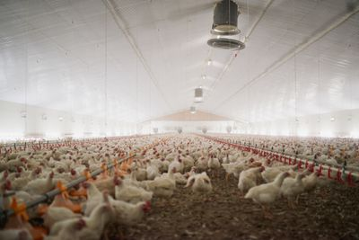 What is Forced Molting in Factory Farms?