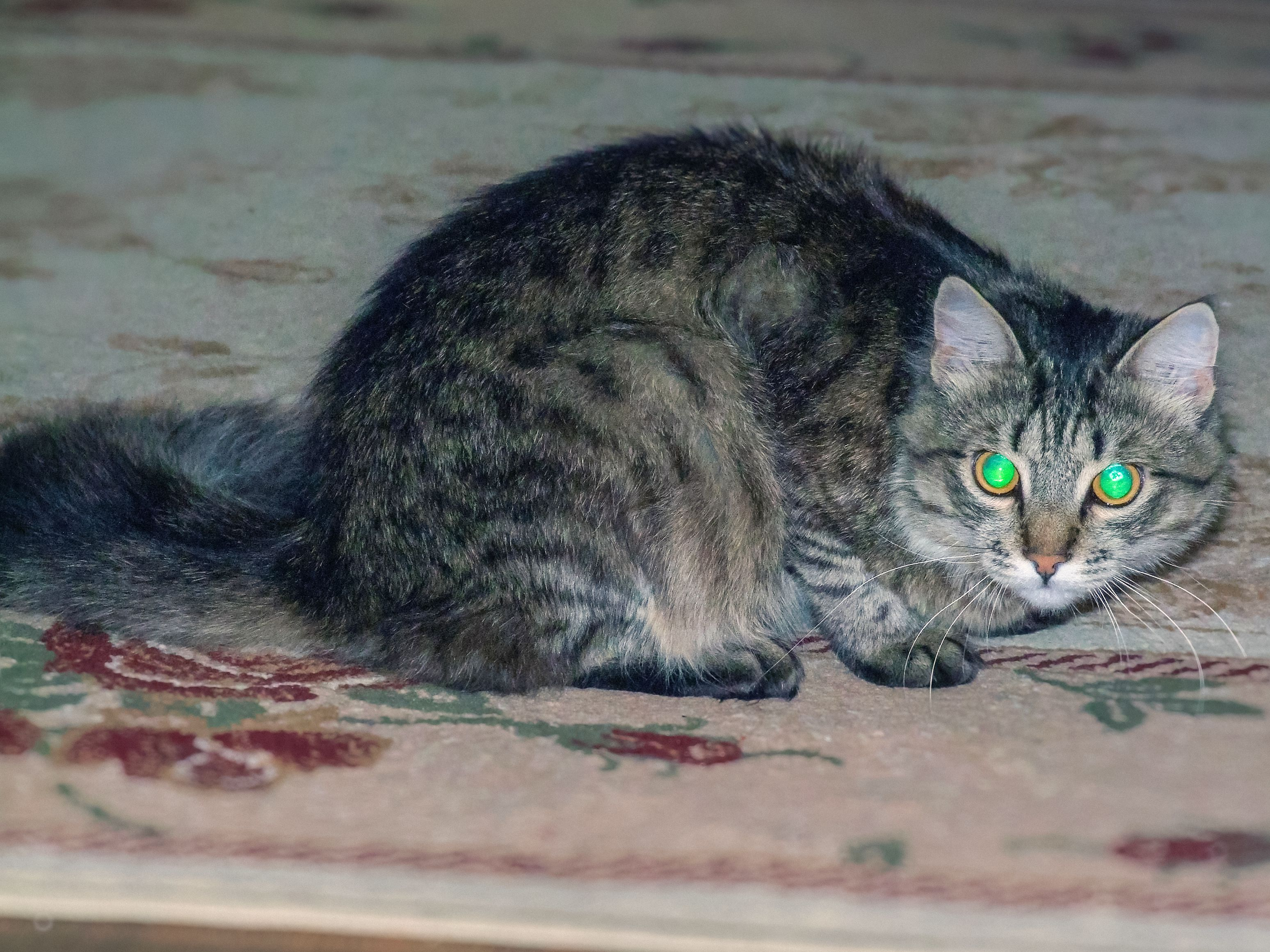 The tapetum lucidum of a cat's eyes reflects light back toward the retina (or camera).