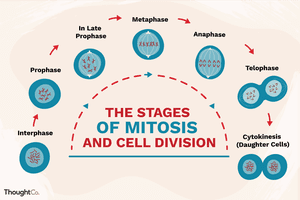 Illustration depicting the stages of mitosis and cell divison