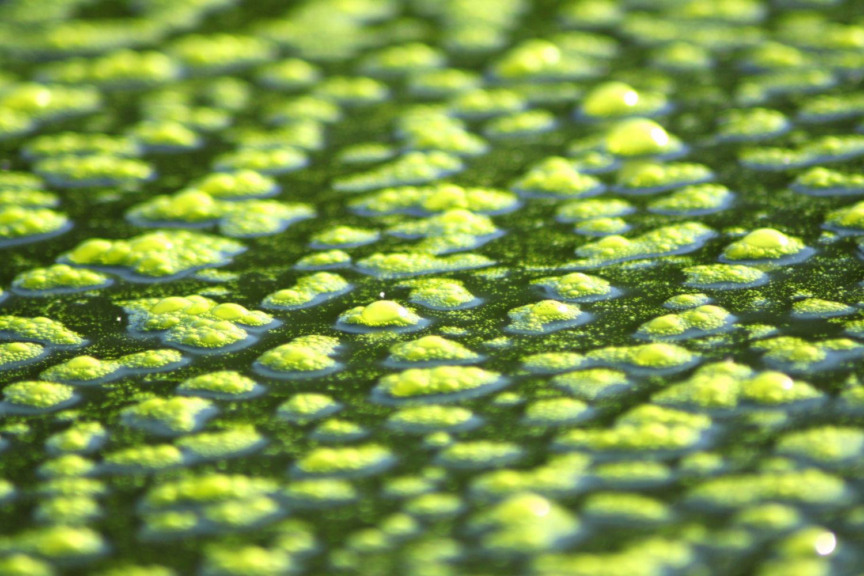 Tó söpredék, tengeri alga és más alga típusok
