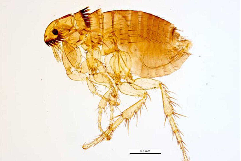Fleas on humans pictures Flea Bite Pictures - Flea Bites on Humans