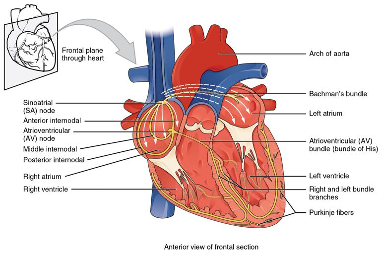 Electric Current Locator : Overview of sinoatrial and atrioventricular heart nodes
