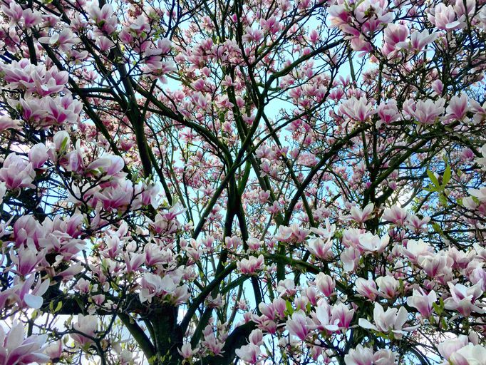 Characteristics of japanese magnolia saucer magnolia magnolia tree covered in blossom mightylinksfo