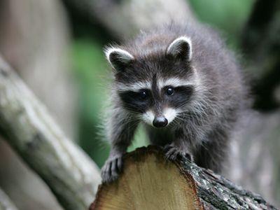 mammals cutest baby animals shutterstock raccoon number cute mammal holger ehlers
