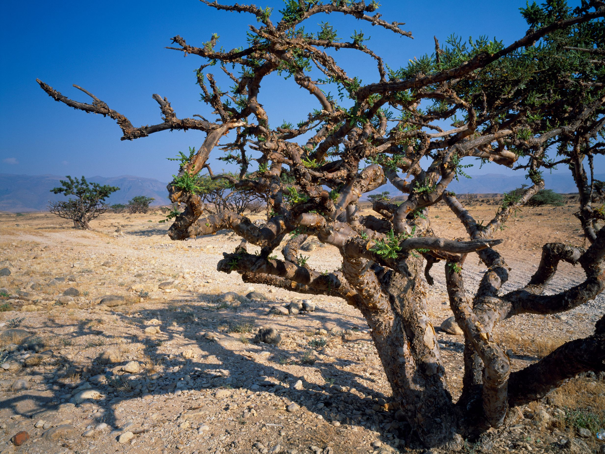 History Of Frankincense Ancient Aromatic Tree Resin