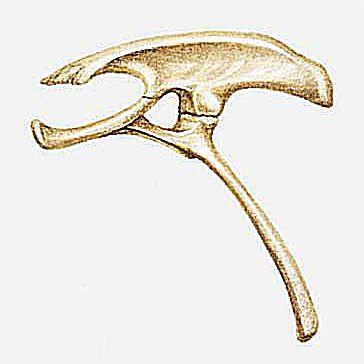 A hipbone from the dinosaur Homalocephale